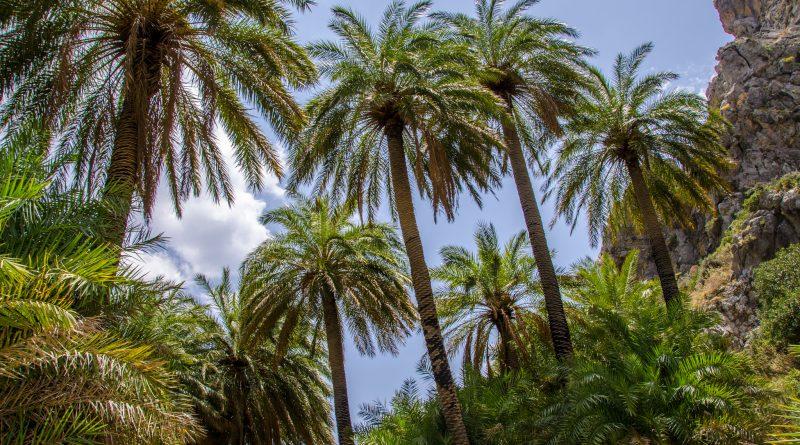 Palmbomen in het palmenbos op Preveli Beach, Kreta