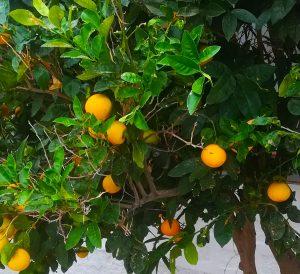 Sinaasappelen in de winter