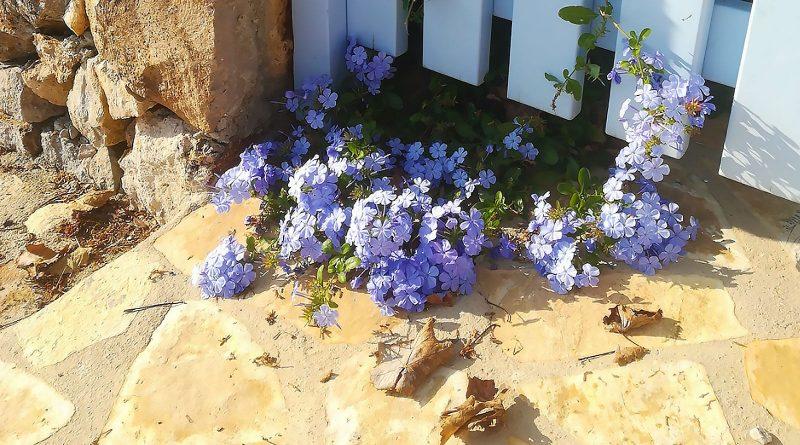 Herfst in Griekenland, bloeiende bloemen met bladeren op de stoep
